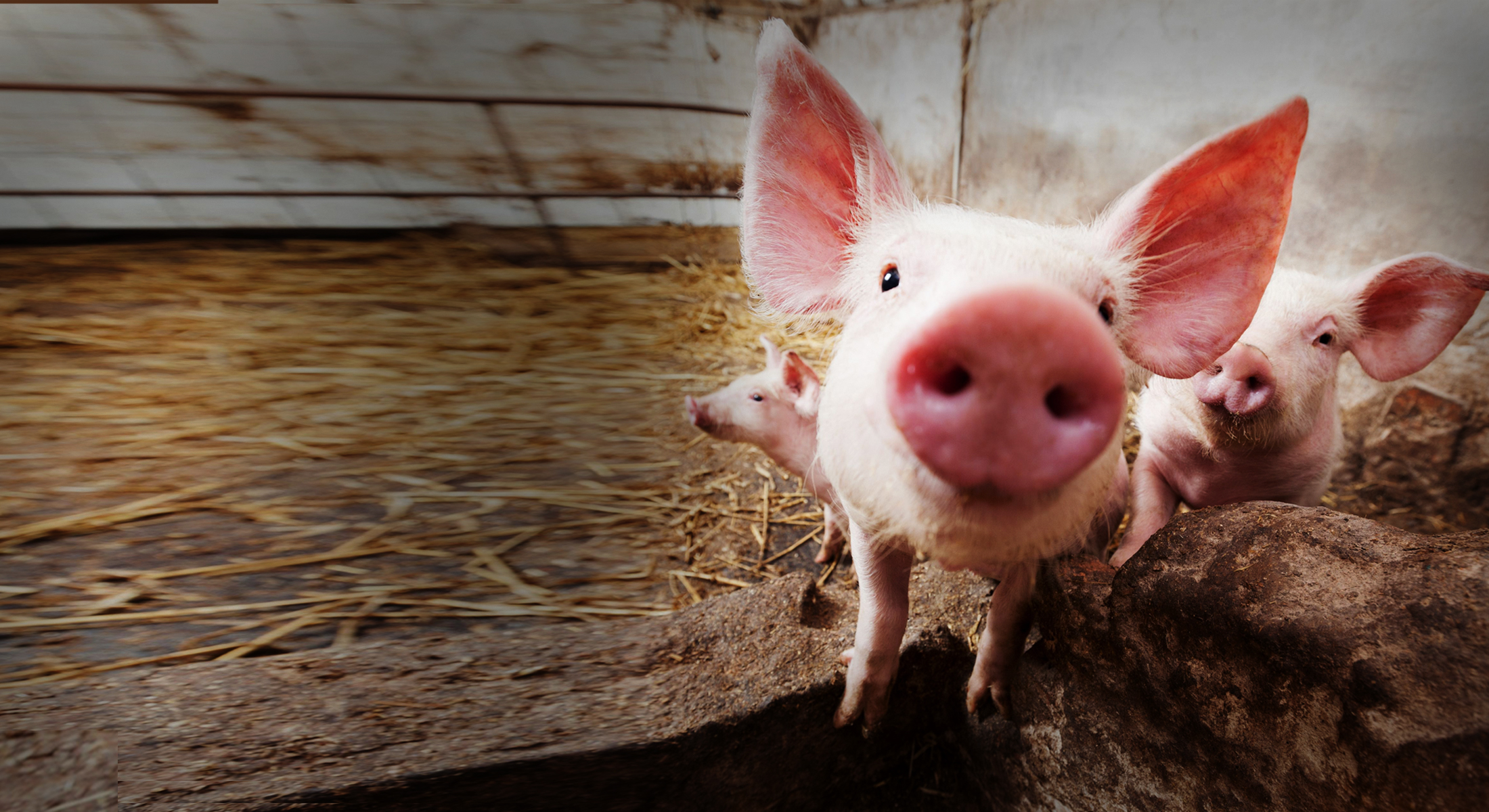 농장 돼지들